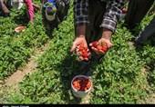 همت و تلاش کارآفرین نمینی نتیجه داد؛ برداشت 45 تن توت فرنگی+ فیلم