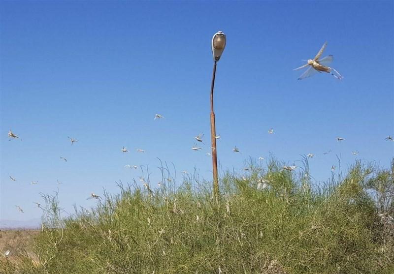 ردپای ملخهای مراکشی در خراسان رضوی/سمپاشیها ادامه دارد
