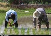 بازگشت رونق به شالیزارهای برنج خراسان شمالی به روایت تصاویر