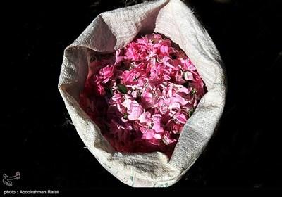 برداشت گل محمدی از گلستانهای همدان