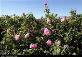 استشمام عطر گل محمدی در دل کویر/ خراسان جنوبی این روزها حال و هوای بهشتی دارد