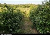 کشاورزی کشور با همین دست فرمان و ادامه بحران آب 10 سال دیگر تعطیل می شود