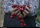 آغاز برداشت گیلاس از باغات شهرستان گرمی/ پیشبینی برداشت 12 هزار تن گیلاس در استان اردبیل + فیلم