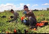 اصفهان|خرید حمایتی گوجه برای کنترل نرخ بازار در صورت افت قیمت انجام میشود