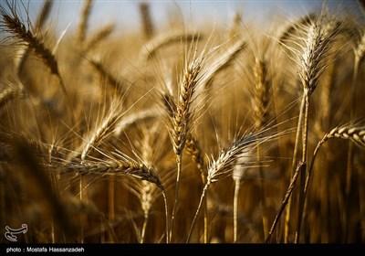 برداشت گندم از مزارع استان گلستان