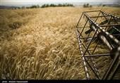 بیش از 68 هزار تن گندم و 96 تن کلزا از کشاورزان خراسانشمالی خریداری شد