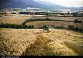 عملیاتی شدن تقویم زراعی برنج در گیلان؛ 13000 تن گندم در استان برداشت شد