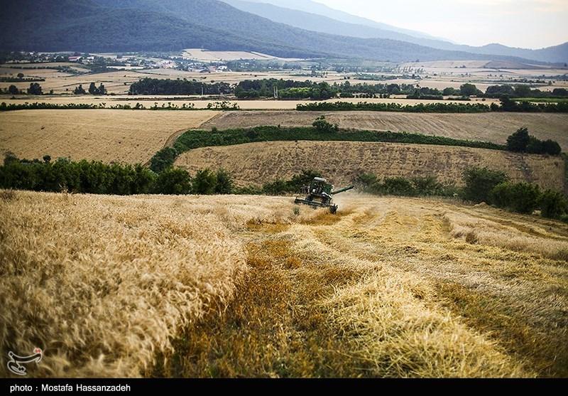4.26 میلیون تن گندم از کشاورزان خرید تضمینی شد