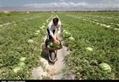 کشت بیرویه هندوانه و گوجه آبهای زیرزمینی استان زنجان را نابود کرده است