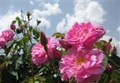 600 تن گل محمدی از گلستانهای نطنز برداشت میشود