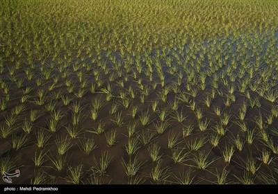 برنجکاری در بخش سوسن شهرستان ایذه