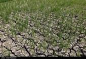 تاراج منابع آبی گلستان با کشت شالی/ چرا کشاورزان خشکهکاری را رعایت نمیکنند؟