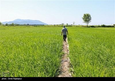 سایه کم آبی بر شالیزارهای چمنستان املش
