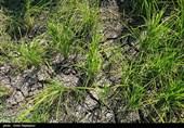 گیلان| بحران کمآبی در شالیزارهای فومن؛ کشاورزان نگرانند