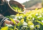 کشت گیاه سیاه دانه برای نخستین بار در کهگیلویه آغاز شد
