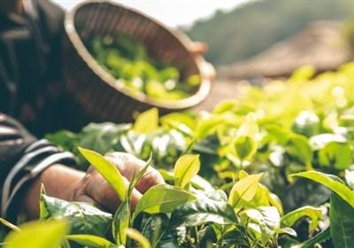 زنگ خطر تخریب محیطزیست به صدا درآمد /برداشت بیرویه گیاهان دارویی و خوراکی در کردستان
