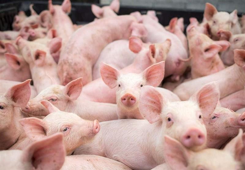 کشف نوع جدیدی از ویروس آنفلوآنزای خوکی با قابلیت همهگیری,