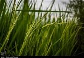 خوشهدهی 20 درصدی برنج در گیلان؛ مشکل کمآبی شالیزارها برطرف میشود
