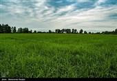 سطح نشاء مکانیزه برنج در استان مازندران به 100 هزار هکتار افزایش یافته است