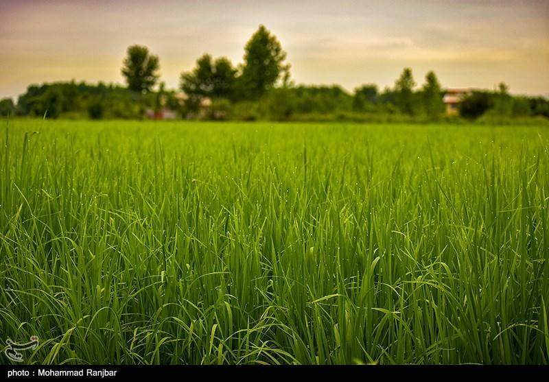 طرح ویژه برنج در 970 روستای استان گیلان اجرایی شد