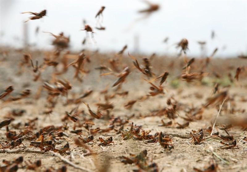 """ملخهای صحرایی به مزارع استان بوشهر حمله کردند/ احتمال گسترش بیماری """"شانکر"""" مرکبات"""