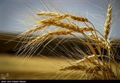 واکنش مجمع ملی خبرگان کشاورزی به تعیین قیمت 4 هزار تومانی خرید گندم / این قیمت را قبول نداریم