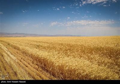 برداشت خوشه های طلایی در زنجان