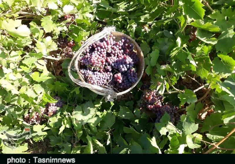 برداشت انگور از تاکستانهای پلدختر به روایت تصویر