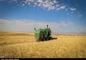 برداشت گندم در اراضی استان بوشهر 40درصد کاهش یافت
