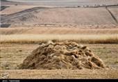 قیمت خرید تضمینی گندم باید افزایش یابد؛ افزایش 25 درصدی قیمت گندم به صرفه نیست