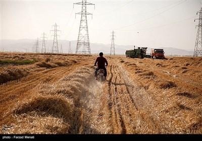 برداشت گندم - کرمانشاه