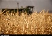 روسیه صادرکننده اول گندم در بازارهای جهانی میشود