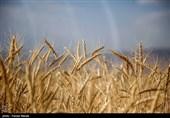 کاهش بارش باران به بیش از 40 درصد مزارع گندم استان بوشهر خسارت وارد کرد