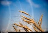 استقبال کشاورزان از گندم 5 هزار تومانی