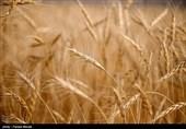قیمت گندم در 10 سال گذشته 10 برابر شده است