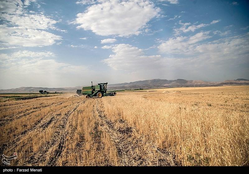 برداشت گندم استان بوشهر 50درصد کاهش یافت