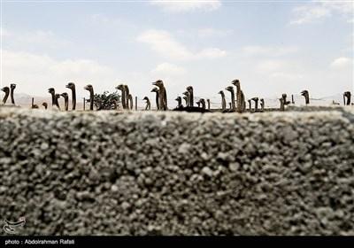 مزرعه پرورش شترمرغ - همدان