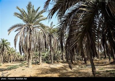 خطر منقرض شدن نخل در شادگان بر اثر خشکسالی