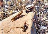 آفت ملخ 50 هکتار از مزارع کاشان را آلوده کرد