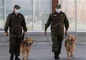 تربیت سگها در شیلی برای ردیابی افراد ناقل کرونا