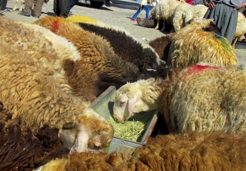 پشت پرده قاچاق دام ـ 2|داستان پُرماجرای قاچاق دام زنده از مرزهای استان ایلام / گوسفندهایی که مسافر فرنگ میشوند+ فیلم