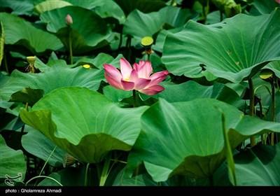 تالاب گل لاله بابل
