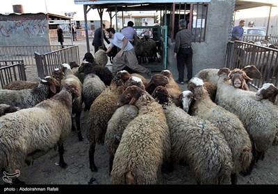 بازار فروش دام عید قربان در روزهای کرونایی-همدان