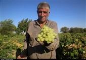 انگور 20 هزار تومانی هم به بازار آمد + قیمت انواع میوه