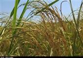 """""""برداشت برنج"""" از شالیزارهای گیلان بهروایت تصویر"""