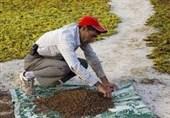 مصائب کشمش کاشمر/ درآمد ناچیز کشاورزان و سود بالای دلالان