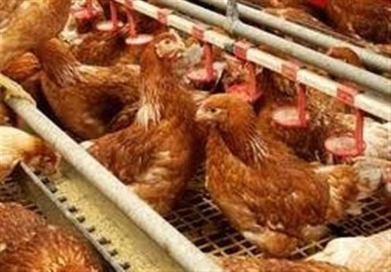 پرداخت تسهیلات ترجیحی برای توسعه مرغ لاین آرین