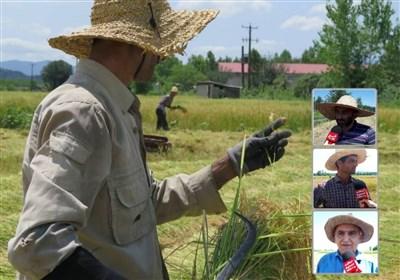 گزارش ویدئویی| سایه شوم دلالان بر سر شالیکاران شمال / وقتی واردات بیرویه برنج تیشه به ریشه برنج ایرانی میزند