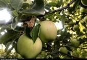 باغات سیب بروجرد در آستانه برداشت+ تصاویر
