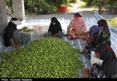صنایع تبدیلی و فراهم شدن امکان صادرات لیموترش دغدغه باغداران هرمزگان است